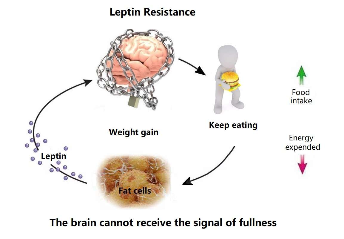 Causes Of Leptin Resistance
